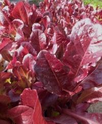 Batavian Lettuce