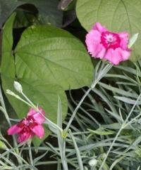 Cottage Pinks