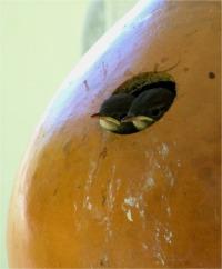 Large Fruited